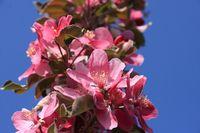 Rosarote Apfelblueten Zieraepfel