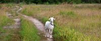 Goat on meadow and dirt road in forest at summer day