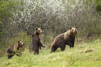 Mother brown bear walking on meadow in early spring with two her cubs