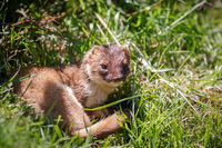Stoat (Mustela erminea) resting in the sunshine