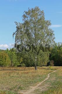 Einzeln stehende Birke im Herbst