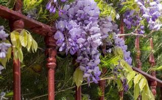 Blühender Blauregen (Wisteria) an einem roten Gartenzaun
