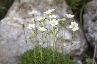 Moossteinbrech (Saxifraga arendsii) im Garten