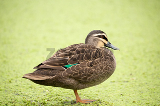 Duck  standing by a billabong covered in green plant flora