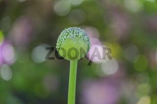ZierlauchKnospe (Allium sp.)