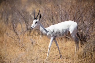 Very rare albino springbok, Etosha National Park, namibia.
