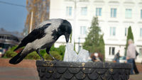 A clever crow retrieves garbage from a trash can in city center.