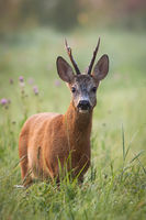 Roe deer stag standing on flower field in summertime nature.
