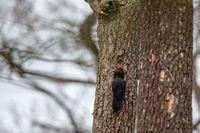 Schwarzspecht (Dryocopus martius)