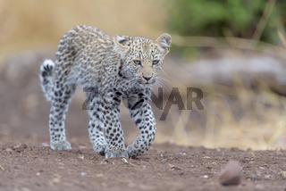 Leopard cub in the wilderness