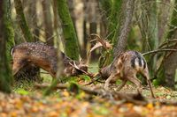 Two fallow deer stags fighting in forest in autumn nature.