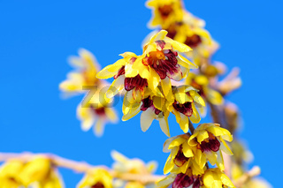 Chinesische Winterbluete blüht im Winter - Chimonanthus praecox with yellow flowers is blooming in winter