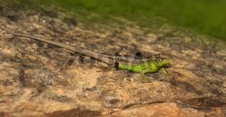 Zauneidechse  'Lacerta agilis' männlich