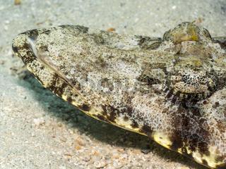 Krokodilfisch (Papilloculiceps longiceps)