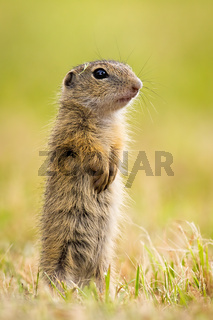Young european ground squirrel standing on rear legs and observing on meadow