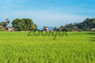 Reisfeld im Dorf der Touristen Ortschaft TukTuk Siadong auf Sumatra