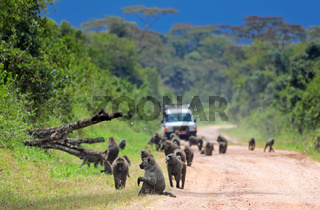 Straßensperre durch Paviane in Uganda | Roadblock by baboons in Uganda