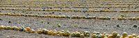 Steirische Ölkürbisse liegen in Reihen auf einem Feld