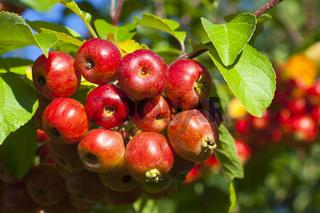 Traube mit knackigen Miniäpfeln am Baum