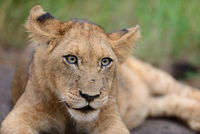 Lion cub in the wilderness