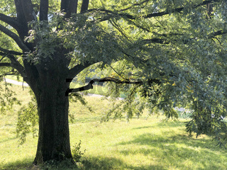 Oak Tree in Olympic Park