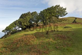 Alte Lorbeerbäume, Maderira, Portugal / Laurus nobilis