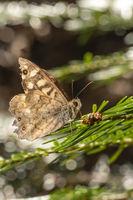 TV1_38Kleiner brauner Schmetterling sitzt auf einem Tannenzweig vor unscharfem braunen Hintergrund m