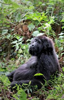 Alter Berggorilla im Bwindi Impenetrable Nationalpark Uganda (Gorilla beringei beringei) | Old Mountain Gorilla at Bwindi Impenetrable National Park Uganda (Gorilla beringei beringei)