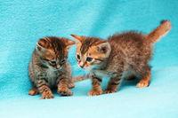 Kätzchen von Bengalen.