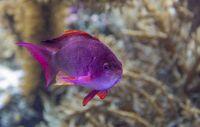 purple coral fish