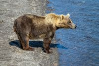 Brown bear looking for fish in river