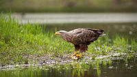 Massive white-tailed eagle sitting on a catch of fish by a lake in wetland.