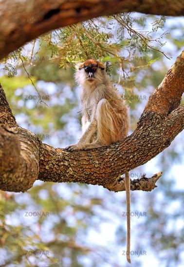 Weißnasen-Husarenaffe im Murchison Falls Nationalpark Uganda (Erythrocebus patas pyrrhonotus)   Patas Monkey, Murchison Falls National Park Uganda (Erythrocebus patas pyrrhonotus)