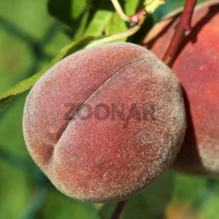 Reifer Pfirsich auf Pfirsichbaum