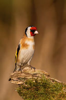 Eropean goldfinch sitting on mossed wood in winter