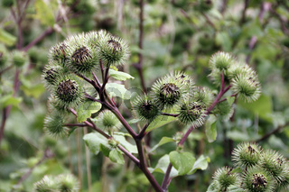 Blütenkörbe der Große Klette, Arctium lappa