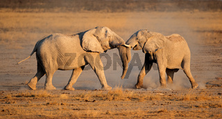 African elephants fighting