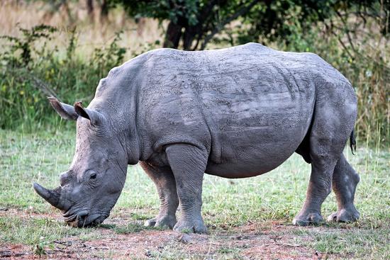 Rhinos im Ziwa Rhino Sanctuary, Uganda   Rhinos at Ziwa Rhino Sanctuary, Uganda