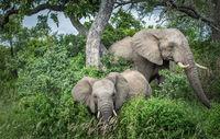 Elephants in Kruger National Park, South Africa.