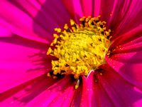 Close-up view of a pink and yellow Cosmos flower