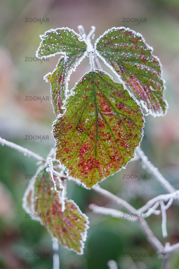 Close up of some Blackberry leaves covered with hoar frost