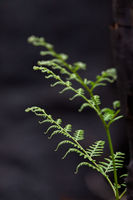 A young fern springs up after bush fire
