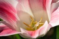 Flower spider, Misumena vatia