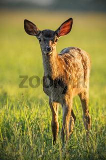 Young cute baby red deer, cervus elaphus, fawn in warm sunset light.