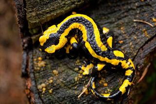 fire salamander salamandra closeup in forest outdoor