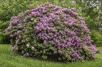 Rhododendronbusch im Stadtpark Muenhberg