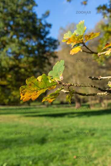 Close up on a branch of an oak tree in autumn