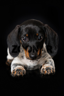 Cute miniature piebald dachshund on black background