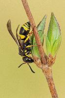 Faltenwespe (Ancistrocerus nigricornis)