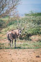 East African oryx, Awash Ethiopia wildlife